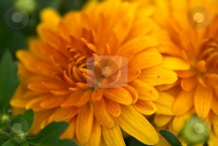 Orange Mum Starburst stock photo, Orange Mum Starburst Closeup by Charles Jetzer