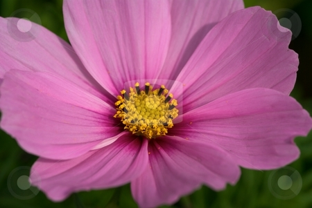 Cosmos - Pink Petals stock photo, Pink Cosmos Bloom Closeup by Charles Jetzer