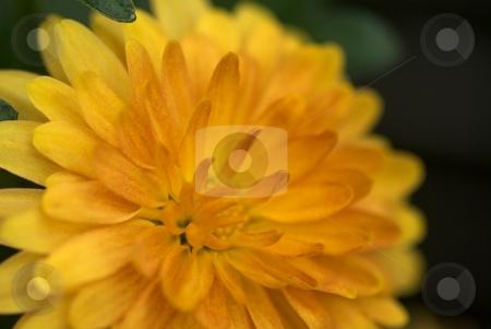 Yellow Orange Mum Starburst stock photo, Yellow Orange Mum Starburst Closeup by Charles Jetzer