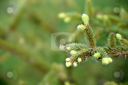 Green fir branch stock photo, Young green fir branch at spring over green blur background by Julija Sapic