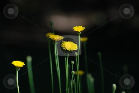 Yellow flowers in the dark stock photo, Some yellow flowers on a black background by Alberto Regnani