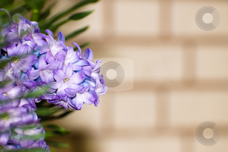 Flower Copyspace stock photo, Concept image of nature vs man with blue flowers shot against a brick background that could be used for copyspace by Richard Nelson