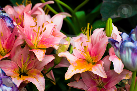 Background Of Lilies stock photo, Multiple colorful lilies used to make a background by Richard Nelson
