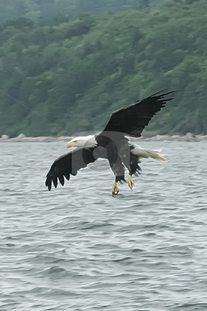 Eagle Landing stock photo, Eagles Flying OVer St. Anns Bay and Scotching Fish by Thomas Marchessault