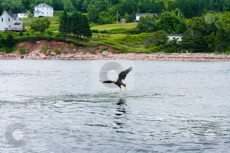 Landing stock photo, Eagles Flying OVer St. Anns Bay and Scotching Fish by Thomas Marchessault
