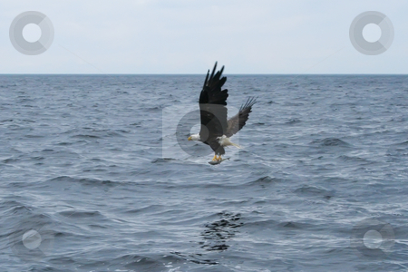 Floating Across the Water stock photo, Eagles Flying OVer St. Anns Bay and Scotching Fish by Thomas Marchessault