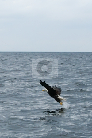 Catching Fish stock photo, Eagles Flying OVer St. Anns Bay and Scotching Fish by Thomas Marchessault