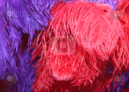 Feathers stock photo, Red and purple feathers make a colorful background by Stacy Barnett