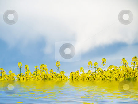 Rape field and water stock photo, Rape field flooded in water with reflection by Laurent Dambies
