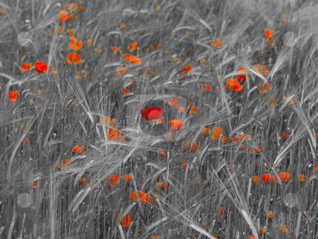 Fresh young barley field stock photo, Fresh green young barley  field with poppies selective coloring by Laurent Dambies