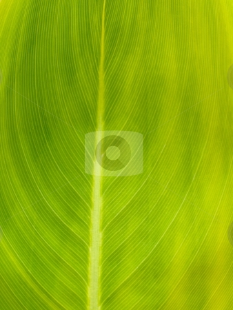 Green leaf stock photo, Macro of a green leaf against the sun by Laurent Dambies