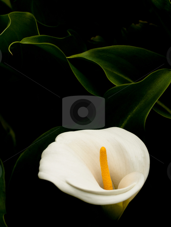 Arum lily stock photo, Arum lily on black background by Laurent Dambies