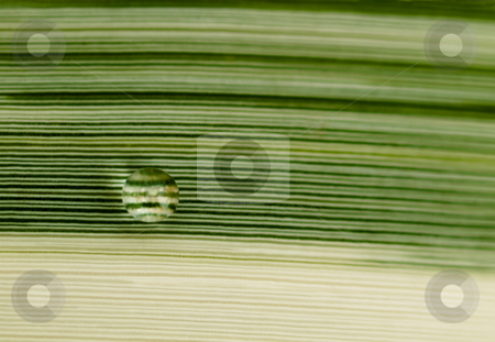 Rain drop stock photo, Rain drop on a striped white and green leaf by Laurent Dambies
