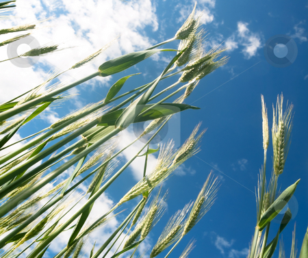 Green barley field stock photo, Green bearley field under blue sky with clouds by Laurent Dambies