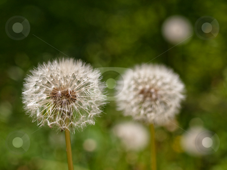 Dandellion clocks couple stock photo, Two dandellions clocks at spring with shallow depth of field by Laurent Dambies