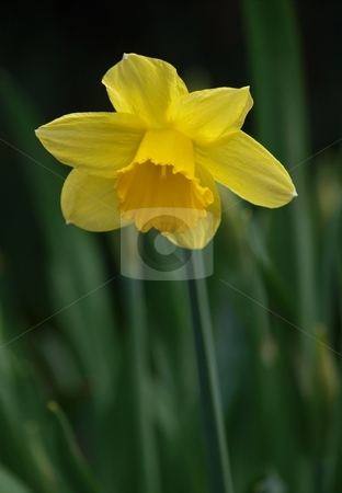 Wild daffodil, yellow stock photo, Easter lily, blooming in the spring sun by Arve Bettum