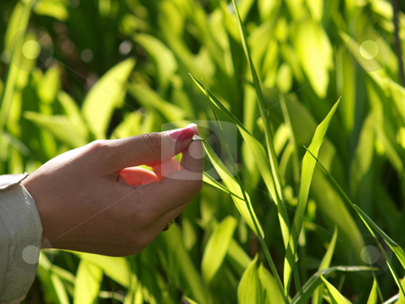 Hand holding a fresh leaf stock photo, Lilly-of-the-Valley leaf held by a hand by Arve Bettum
