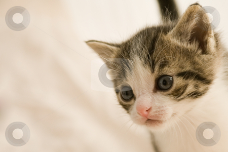 Kitten at 3 weeks old being curious stock photo, Image of a kitten only 3 weeks old by Frenk and Danielle Kaufmann