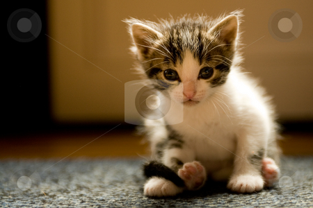 Kitten at 3 weeks old looking goofy stock photo, Image of a kitten only 3 weeks old by Frenk and Danielle Kaufmann