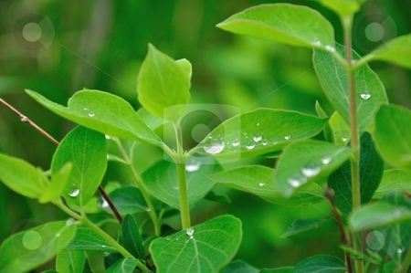 Water Droplets on Green Leaves stock photo, Water collects on green leaves on an early Spring morning. by Ben O'Neal
