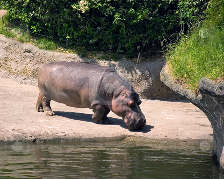 One Hippopotamus Near Water Edge stock photo, This lone hippopotamus is standing and about to get a drink of water at the shore. by Valerie Garner