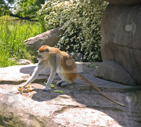 One Patas Monkey Eating stock photo, This lone patas monkey is eating food while sitting on a rocky area outdoors. by Valerie Garner