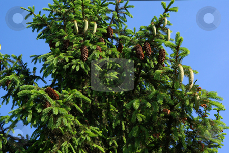 Spruce stock photo, Green spruce tree blue sky background by Jolanta Dabrowska