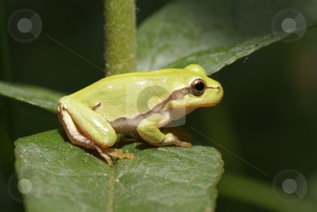Frog stock photo, Green frog sitting on leaf in forest by Jolanta Dabrowska