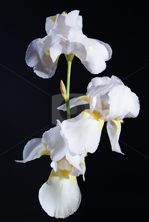 Iris stock photo, full-blown white flower iris on black background by Jolanta Dabrowska