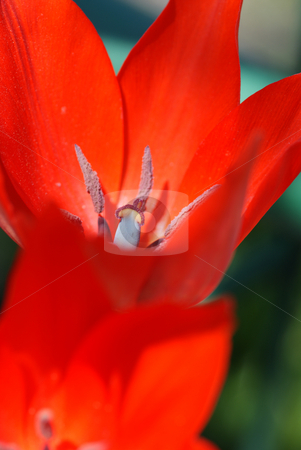 Tulip stock photo, two full-blown red tulip  on green background by Jolanta Dabrowska