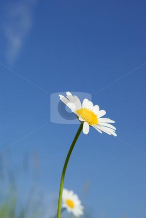marguerite stock photo, Big white daisy on background sky blue by Jolanta Dabrowska