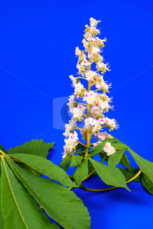 Chestnut flower stock photo, Chestnut flower and leaf on blue background by Jolanta Dabrowska