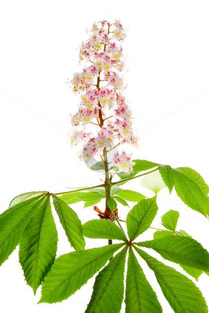 Chestnut flower stock photo, Chestnut flower and leaf on white background by Jolanta Dabrowska