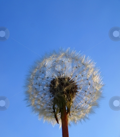 Daisy seed parachutes stock photo, Daisy seed parachutes on a stem waiting for the wind to catch them by Arve Bettum