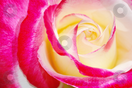 Yellow and red rose stock photo, Close-up of a yellow and red rose in sunlight. by Ivan Paunovic