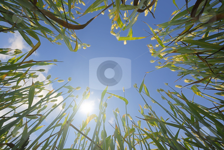 Wheat and Sun stock photo, Low angle view of a wheat against sun and blue sky in background. by Ivan Paunovic