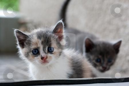 Kiten stock photo, Animal series: grey fluffy small domestic kitten by Gennady Kravetsky
