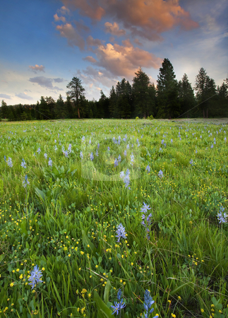 Blue-eyed Grass Sunset stock photo, Blue Eyed Grass dots an meadow at Rocky Prairie as the sun sets on a May day in Central Washington by Mike Dawson