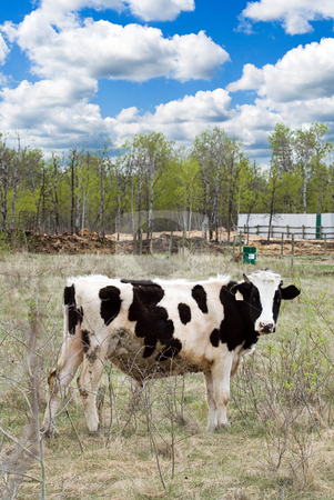 Farm stock photo, A black and white spotted cow is standing in the pasture on a beautifl spring day by Richard Nelson