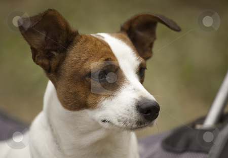 Jack Russell Terrier Portrait stock photo, Portrait of an Adorable Jack Russell Terrier by Andy Dean