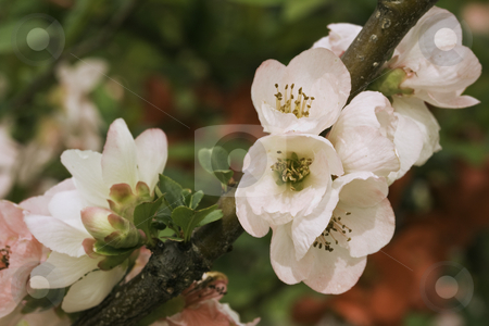 Pink blooms of flowering quince (Chaenomeles speciosa) stock photo, Pink and white blooms of the flowering quince cultivar 'Toyo Nishiki' by Stephen Goodwin