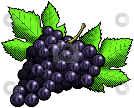 Dark Grapes stock vector clipart, A Vector illustration of a bunch of dark grapes, by Erasmo Hernandez