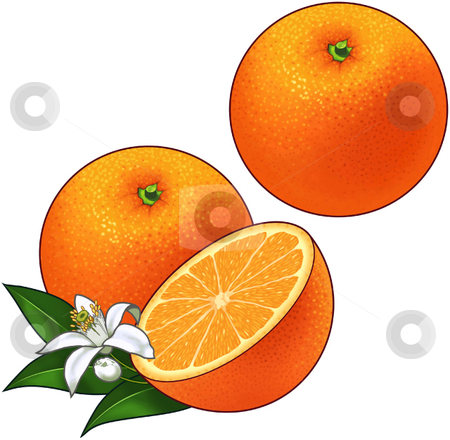 Oranges stock vector clipart, A vector illustration of oranges with blossom and leaves. by Erasmo Hernandez