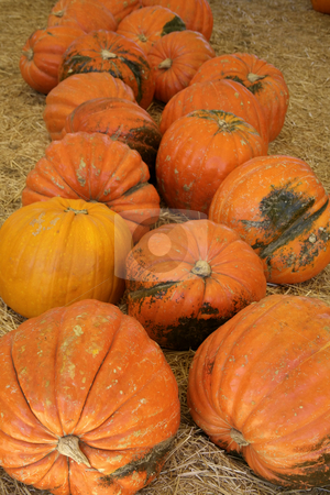 Huge holiday pumpkins stock photo, Extremely large pumpkins ready for either Halloween or Thanksgiving by Stacy Barnett