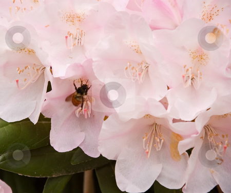 Bee In Pale Pink Rhodendron  stock photo, This nature photo is beautiful with a honey bee pollinating a pale pink rhododendron flower. by Valerie Garner