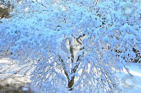 Winter Tree stock photo, Photo of a tree after a recent snow with sunlight poking through in the background.  Lovely winter shot. by Valerie Garner