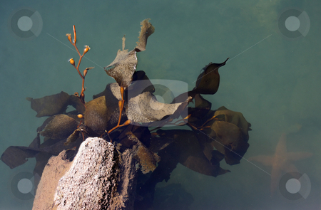 Kelp stock photo, Kelp attached to a deteriorated log with a starfish in the murky water by Stacy Barnett