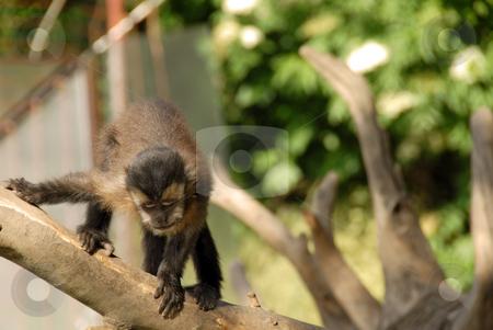 Monkey on tree stock photo, Monkey sitting on wood outdoor looking down by Julija Sapic