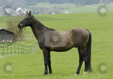 Arshin 12 stock photo, Body shot of akhal-teke stallion Arshin by Andreas Brenner
