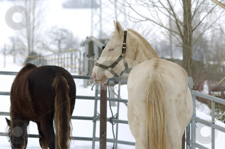 Isabella blue eyes stock photo, Isabella akhal-teke and knabstrupper in paddock in winter by Andreas Brenner